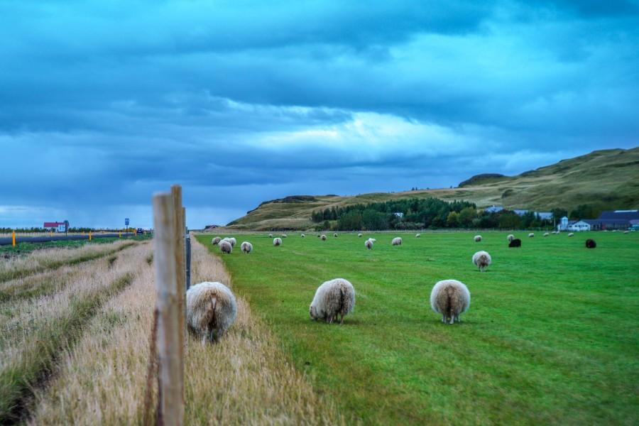 周笔畅摄影作品 2016年9月 冰岛羊可爱的屁股.jpg