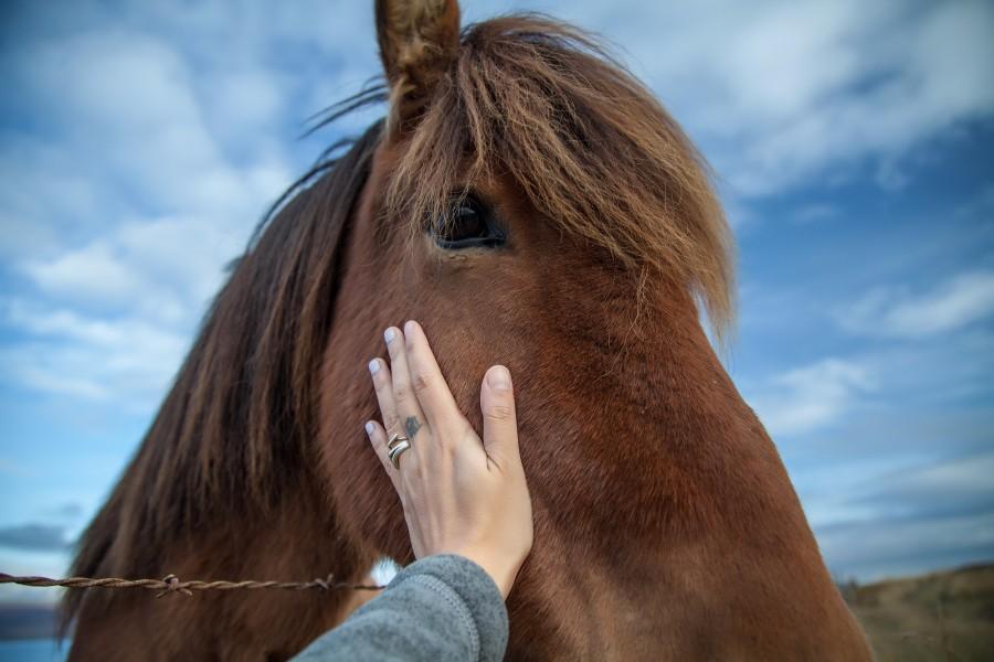 周笔畅摄影作品 2016年9月 可爱的冰岛马.jpg