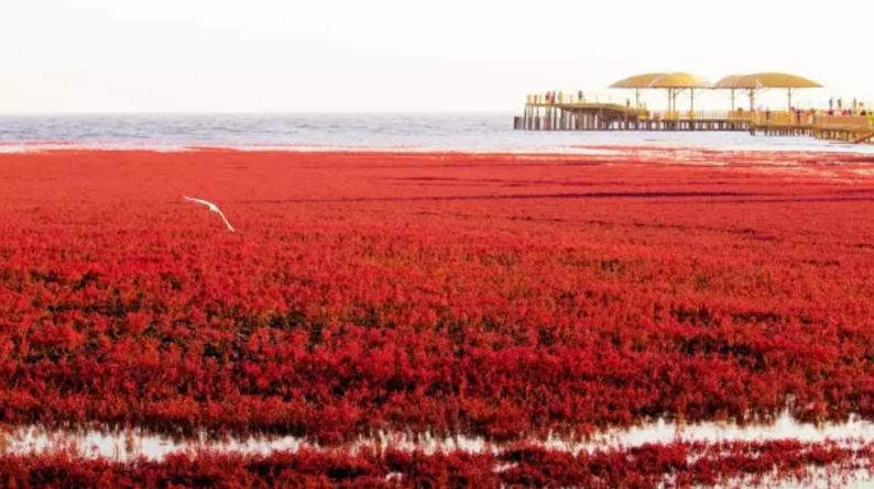 """""""世界红色海岸线""""盘锦红海滩摄影大展还有5天截稿"""