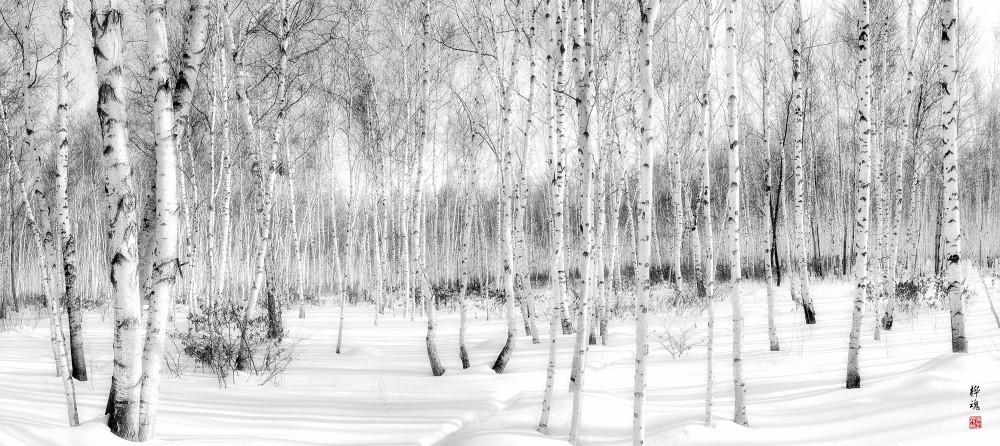 黑龙江省农垦红兴隆管理局境内树种丰富,亭亭玉立的白桦树随处可见——李光耀 摄.jpg