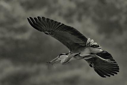 苍鹭:归隐太行山深处的精灵