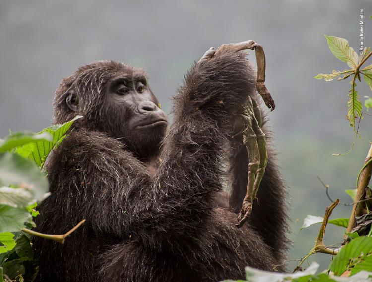 年度野生动植物摄影师大赛,中国秦岭的金丝猴获得大奖