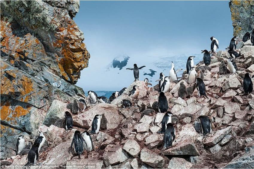 《企鹅之王》(King of the penguins),参赛者Nancy Dowling,拍摄于南极洲Booth岛。